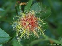 Diplolepis rosae Cynips de l'eglantier Rozenmosgalwesp