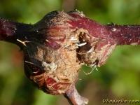 Lasioptera rubi Galle sur tige de ronce Frambozentakgalmug
