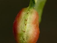 Pontania proxima Galle du saule Blaasgalbladwesp