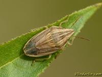 Aelia acuminata Punaise nez-de-rat Mijterschildwants
