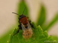 Andrena fulva feminine Andrène fauve femelle Vosje vrouwtje