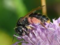 Andrena hattorfiana Andrène de la scabieuse femelle Knautiabij vrouwtje