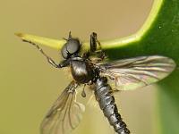 Bibio lanigerus Bibio lanigerus Kleine rouwvlieg