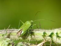 Calocoris affinis Calocoris affinis Groene prachtblindwants
