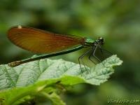 Calopteryx virgo feminine Caloptéryx éclatant femele Bosbeekjuffer vrouwtje