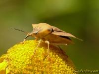 Carpocoris fuscispinus Punaise des fruits à pointes sombres Beemdkroonschildwants