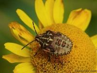 Carpocoris purpureipennis nymph Punaise à pattes rouges nymphe Knoopkruidschildwants nimf