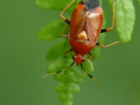 Deraeocoris ruber Deraeocoris ruber Rode halsbandwants