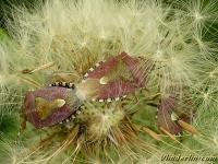 Dolycoris baccarum Punaise des baies Bessenschildwantsen