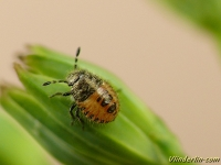Dolycoris baccarum nymph Punaise des baies nymphe Bessenschildwants nimf II
