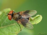 Ectophasia crassipennis feminine Phasie crassipienne femelle Ectophasia crassipennis vrouwtje