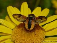 Ectophasia crassipennis masculine Phasie crassipienne mâle Ectophasia crassipennis mannetje