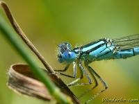 Erythromma lindenii Naïade aux yeux bleus Kanaaljuffer