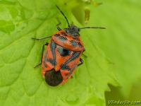 Eurydema ornata Punaise rouge du chou Sierlijke schildwants