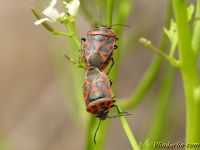 Eurydema ornata copula Punaise rouge du chou Sierlijke schildwants