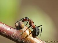 Formica rufa Fourmi rousse des bois Behaarde rode bosmier