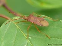 Gonocerus acuteangulatus Punaise des noisettes Smalle randwants