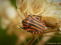 Graphosoma italicum Punaise arlequin Pyjamaschildwants