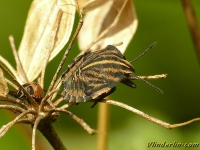 Graphosoma italicum nymph Punaise arlequin nymphe Pyjamaschildwants nimf