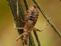 Himacerus apterus feminine Himacerus apterus femelle Boomsikkelwants vrouwtje