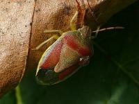 Piezodorus lituratus Punaise ponctuée Bremschildwants
