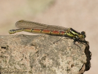 Pyrrhosoma nymphula Nymphe au corps de feu femelle Vuurjuffer vrouwtje