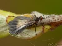 Rhamphomyia marginata feminine