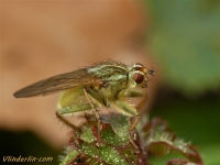 Scathophaga stercoraria feminine Scatophage du fumier femelle Gele mestvlieg vrouwtje