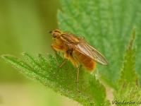 Scathophaga stercoraria masculine Scatophage du fumier mâle Gele Mestvlieg mannetje