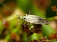 Stenotus binotatus Stenotus binotatus femelle Grasbloemwants vrouwtje