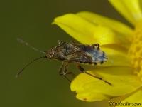 Stictopleurus punctatonervosus Stictopleurus punctatonervosus Grijze glasvleugelwants