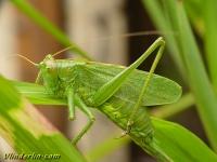 Tettigonia viridissima Grande sauterelle verte Grote groene sabelsprinkhaan