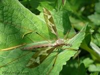 Tipula maximaTipule géante femelle Reuzenlangpootmug vrouwtje