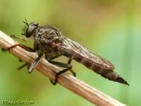 Tolmerus atricapilus feminina Tolmerus atricapilus femelle  Gewone roofvlieg vrouwtje