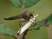 Tolmerus cowini feminine Tolmerus cowin femelle Donkere ringpootroofvlieg vrouwtje