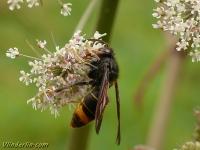 Vespa velutina Frelon asiatique Aziatische hoornaar