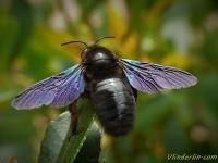 Xylocopa violacea feminine Abeille charpentière femelle Blauwzwarte houtbij vrouw
