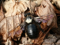 Xylocopa violacea masculine Abeille charpentière mâle Blauwzwarte houtbij mannetje