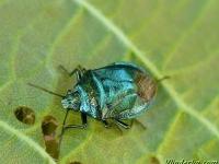 Zicrona caerulea Zicrona caerulea Blauwe schildwants