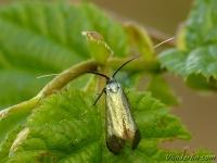 Adela reaumurella Adèle verdoyante femelle Smaragdlangsprietmot vrouwtje