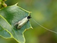 Adela reaumurella Adèle verdoyante mâle Smaragdlangsprietmot mannetje