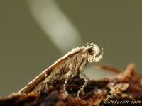 Agonopterix arenella Agonopterix arenella Bleke kaartmot