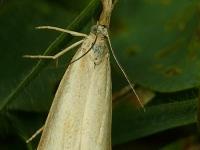 Agriphila straminella Crambus des chaumes Blauwooggrasmot