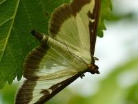 Cydalima perspectalis Pyrale du buis Buxusmot
