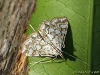 Elophila nymphaeata Hydrocampe du potamot Waterlelievlinder