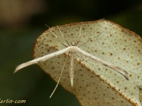 Emmelina monodactyla Ptérophore commun Windevedermot