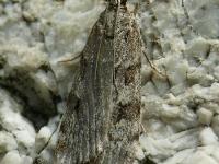 Eudonia truncicolella Eudorée des troncs Nazomergranietmot
