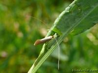 Nematopogon swammerdamella Nematopogon swammerdamella Bleke langsprietmot