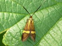 Nemophora degeerella feminine Coquille d'or femelle Geelbandlangsprietmot vrouwtje