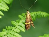 Nemophora degeerella masculine Coquille d'or mâle Geelbandlangsprietmot mannetje